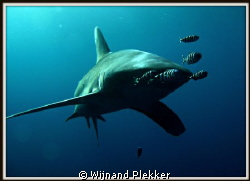 Oceanic Whitetip by Wijnand Plekker 